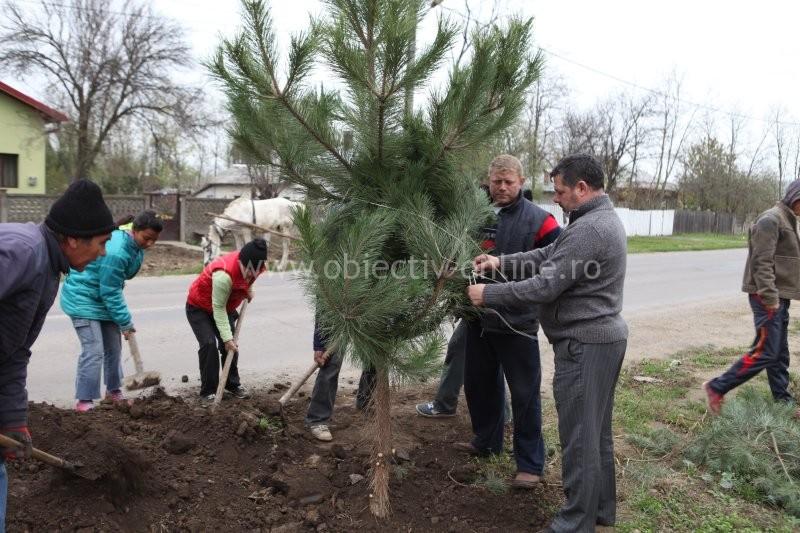 arbore de negru plantar)