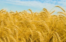 Prețurile medii pentru grâu și porumb pe piețele din România, la final de aprilie