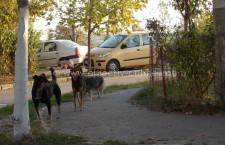 Câinii vor fi vaccinaţi contra rabiei, numai după microcipare şi înscriere în Registrul Naţional de evidenţă a câinilor  cu stăpân (RECS)