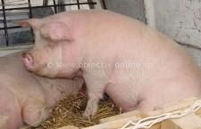 DSVSA Călăraşi/1589 de controale în gospodăriile deţinătorilor de porcine