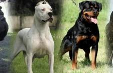 Proprietarii de câini periculoși trebuie să încheie polițe de asigurare pentru aceștia. Ce alte obligații mai prevede legea?