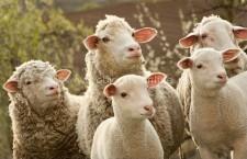 Românii au cumpărat aproximativ 3,5 milioane de miei de Paşte