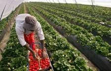 Se caută 800 de căpșunari pentru Spania