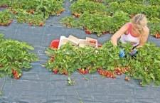 Șomerii călărășeni pot fi căpșunari în Spania/Selecția în ianuarie 2016