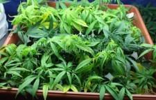 Cultură indoor de cannabis, descoperită la Călărași