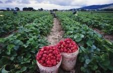 Locuri de muncă sezoniere în agricultură – SPANIA – Campania 2018