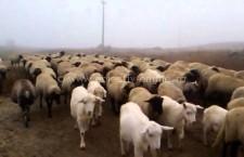 Cazuri confirmate de antrax la animal în sudul României/DSP Călărași informează populația asupra riscurilor aceste boli