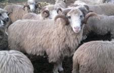 2.500 de lei/cap, ajutor de la Guvern pentru achiziția de berbeci/țapi