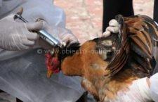 COMUNICAT DE PRESĂ/Direcţia Sanitară Veterinară şi pentru Siguranţă Alimentelor Călăraşi recomandă atenţie la gripă aviară!