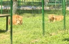 Grădina Zoologică din Călărași s-a îmbogățit cu doi lei