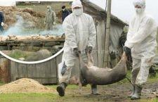 Pesta Porcină Africană, confirmată în două gospodării din comuna Borcea, judeţul Călăraşi
