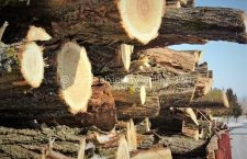 21.000 mc de lemn de foc vânduţi populaţiei de Direcţia Silvică Călăraşi în primele 10 luni ale anului