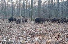 În 11 fonduri de vânătoare din județul Călărași s-a identificat PPA la mistreți