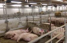 Focar de pestă porcină africană la o fermă cu 5.000 de porci din comuna Ulmeni